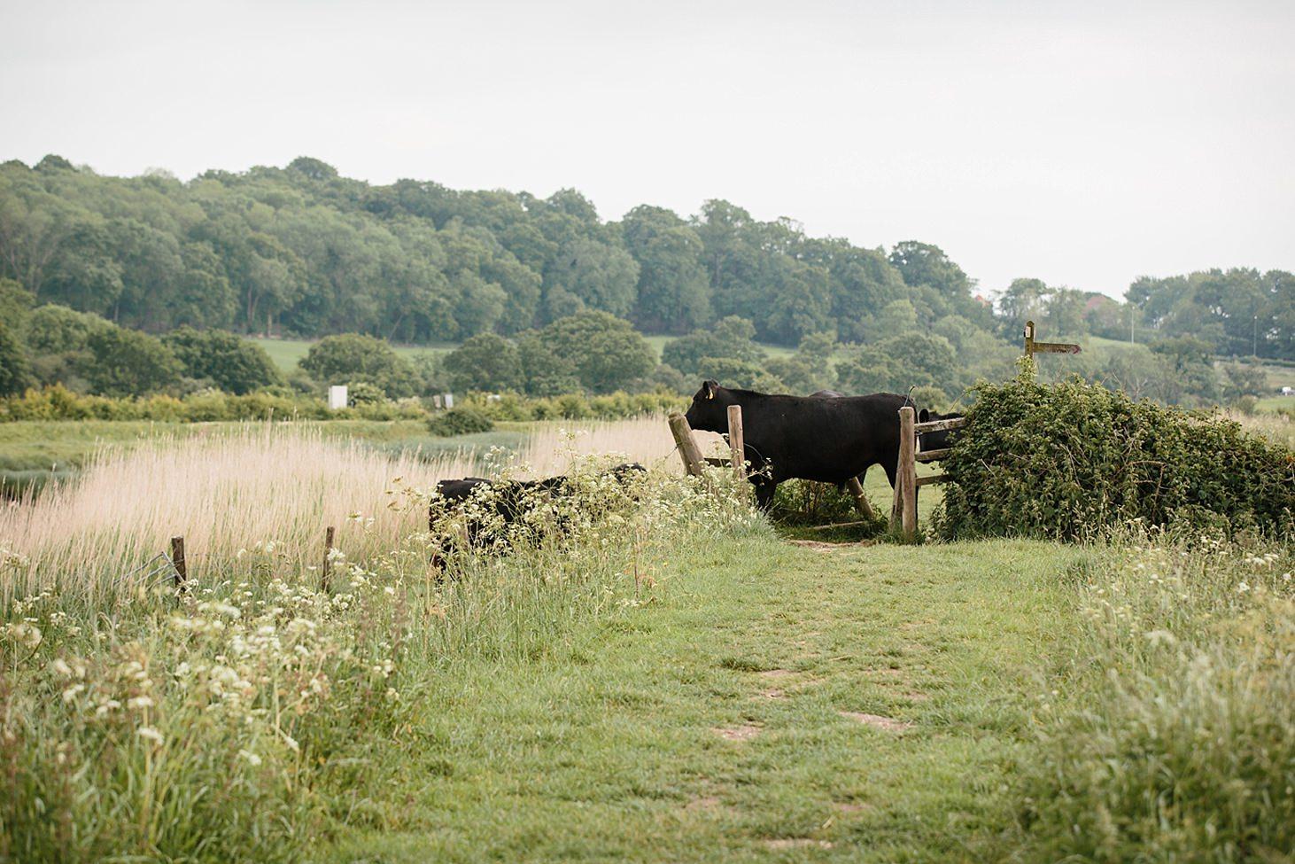 arundel engagement shoot cows