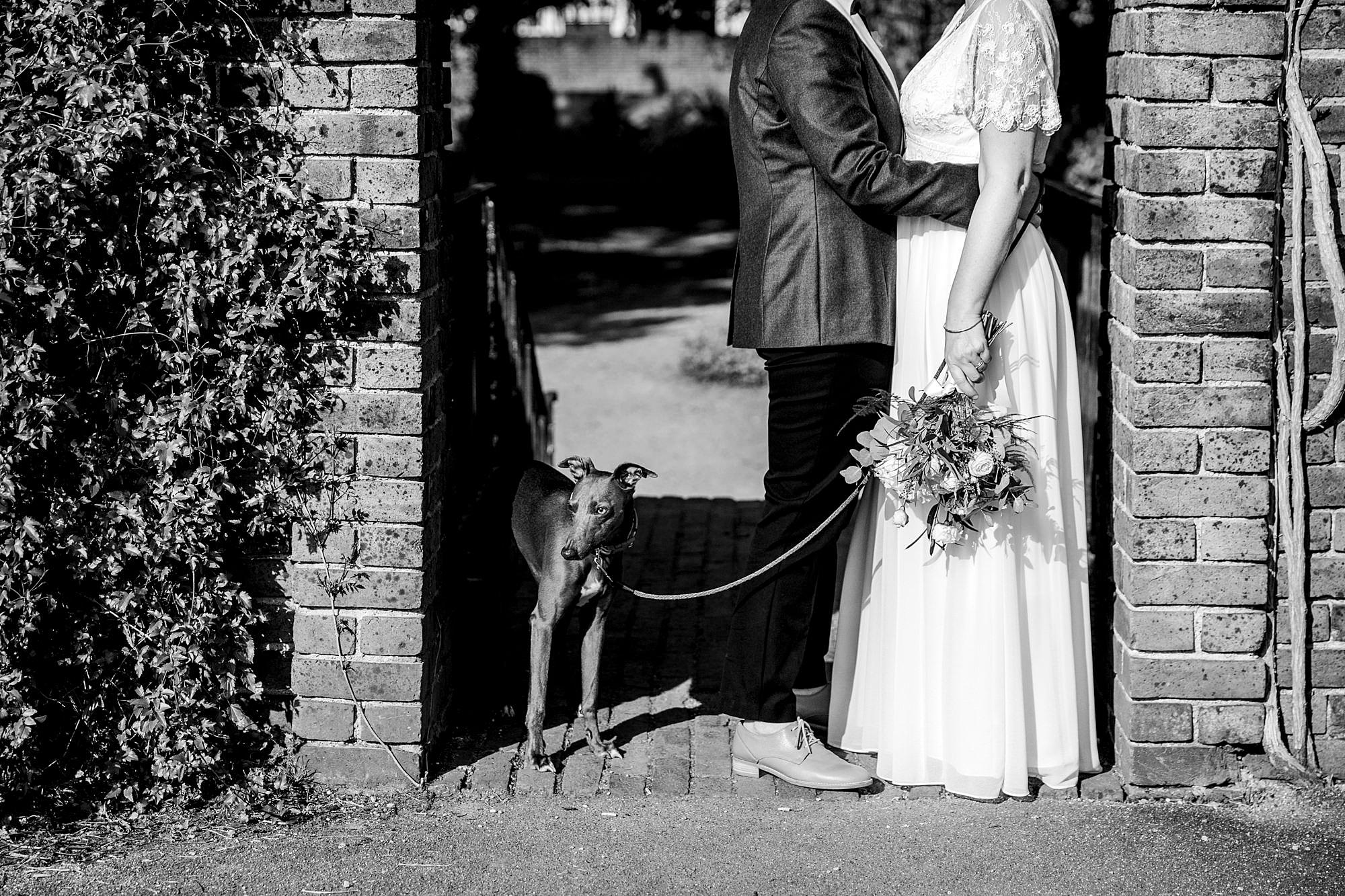 Twickenham wedding photography whippet dog stands next to brides in the grounds of york house